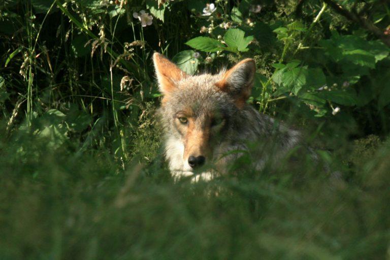 Avis aux agriculteurs : Attaque de loups